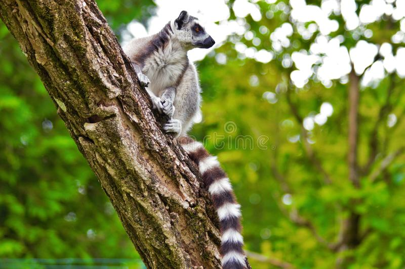Lemures sitting on branch in zoo in Augsburg in germany stock photo