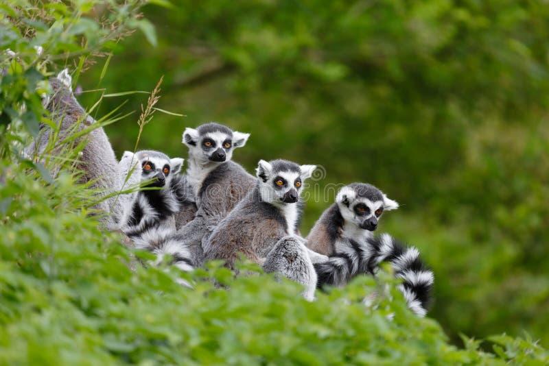 Lemurfamilj Arkivbild