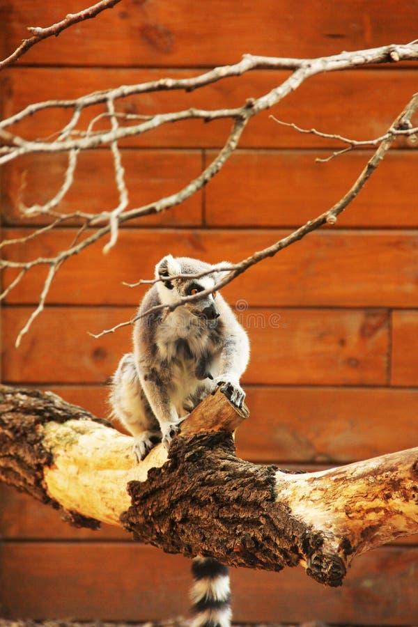 Lemuriformes. Lemur sits on a tree branch stock photo