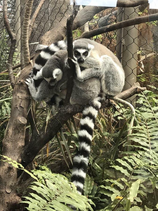 lemurs arkivfoton