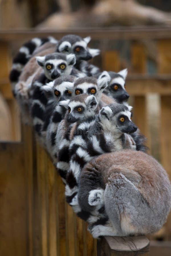 Lemurs lizenzfreie stockbilder