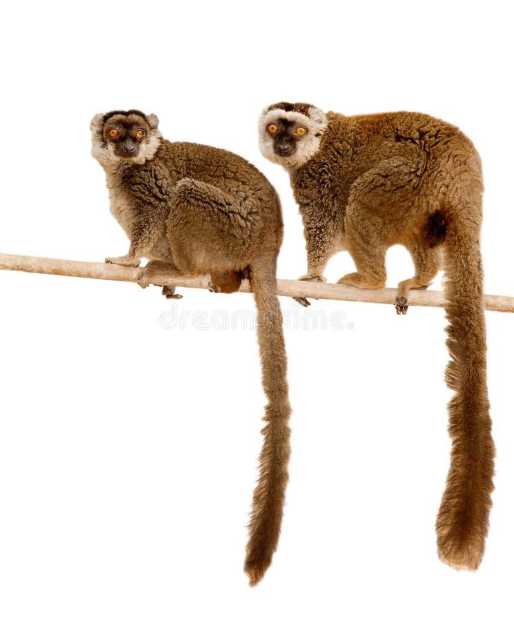 Free Lemurs Stock Photo - 17725460