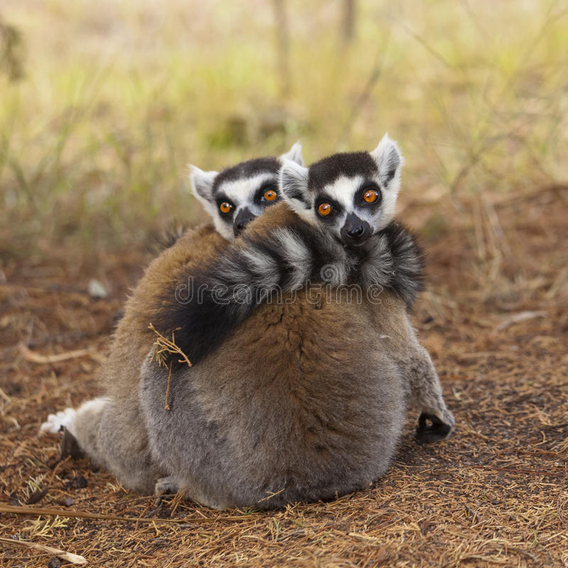 Download Lemurs stock image. Image of wildlife, baby, africa, lemurs - 27754413