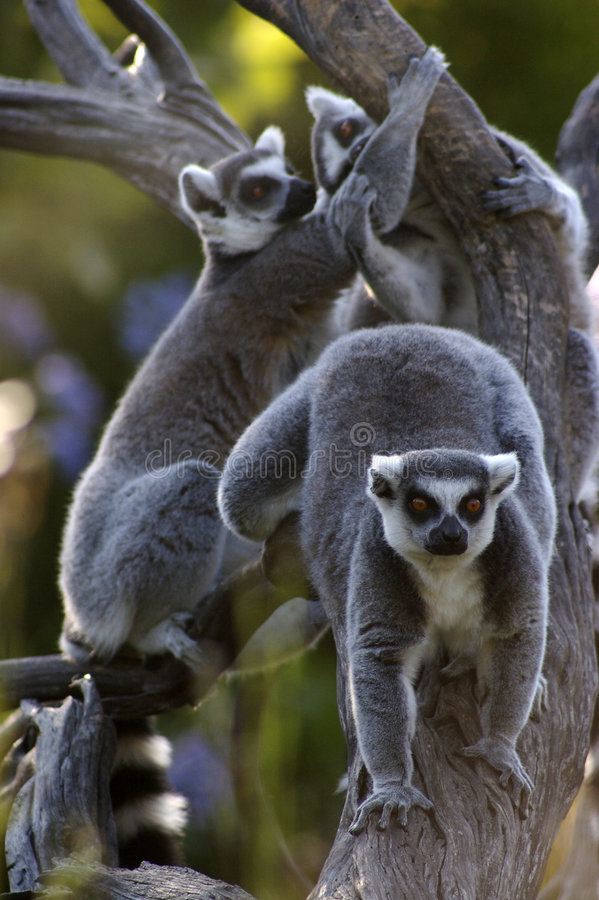 Download Lemurs stock image. Image of primate, mammals, group, wildlife - 4247493