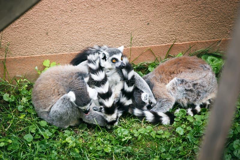 lemurs images stock
