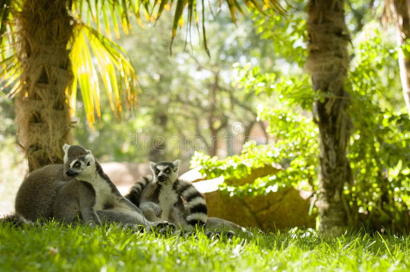 lemurs image stock