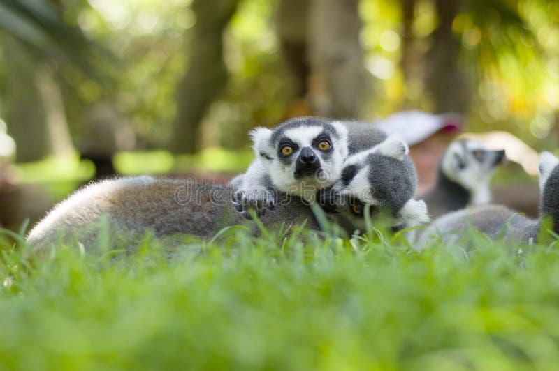 lemurs photographie stock
