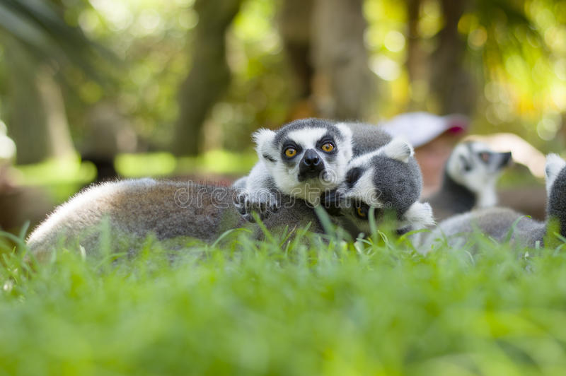 lemurs arkivbild