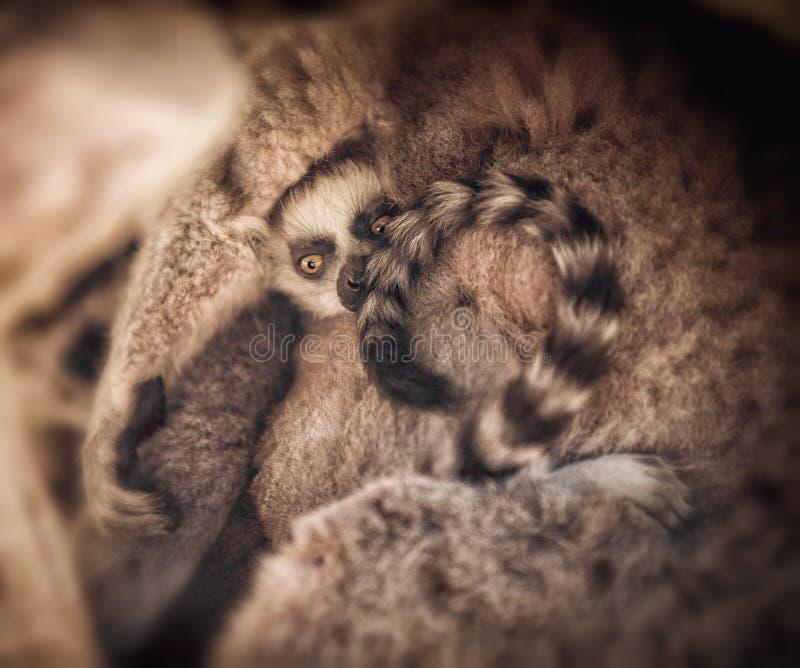 lemurs foto de archivo