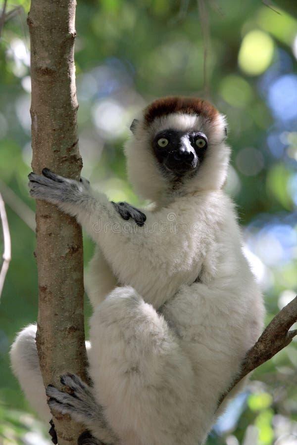 Lemurs de Verraux Sifika imagen de archivo