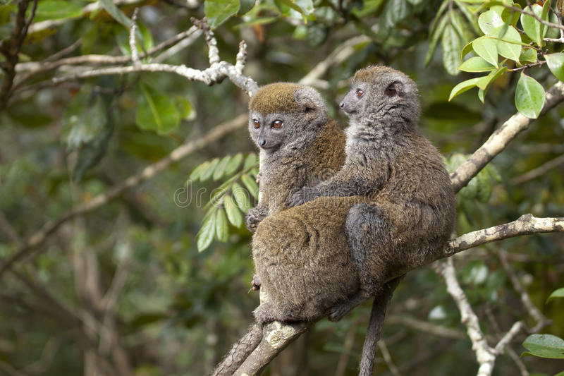 Lemurs en bambou photos stock