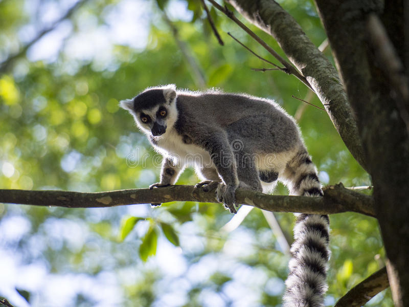 Lemurs of Madagascar royalty free stock image