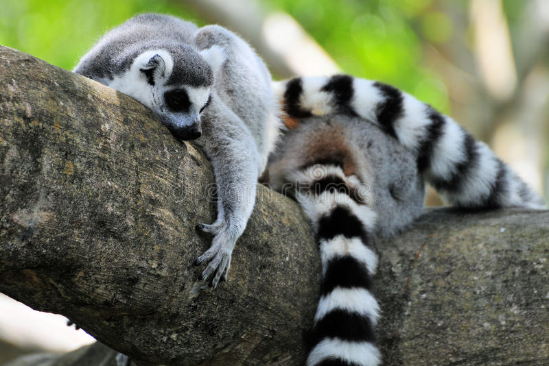 Lemurs playing on a tree branch stock image
