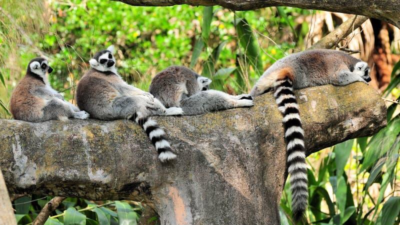 Lemurs resting on tree branch stock photography