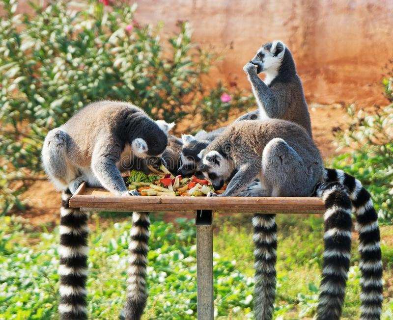 Lemurs Ring-tailed image stock
