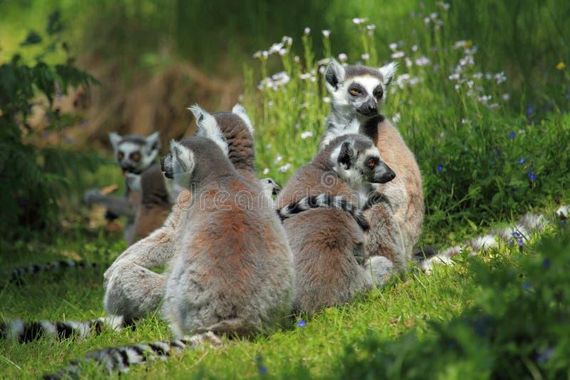 Lemurs Ring-tailed foto de stock royalty free