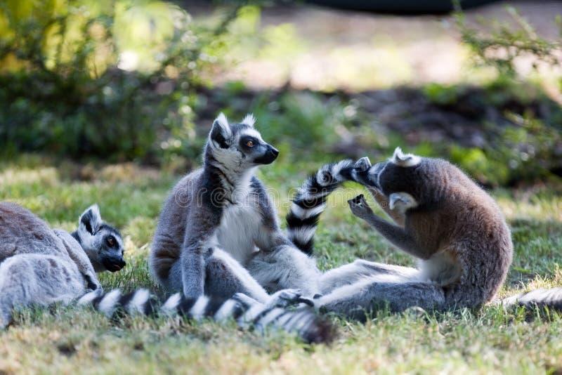 Lemurs Ring-tailed photo stock