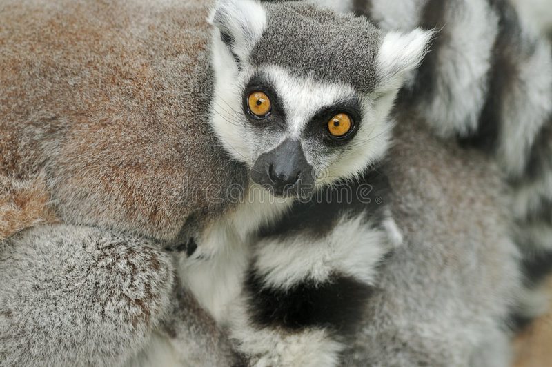 Lemurs Ring-tailed imagem de stock royalty free