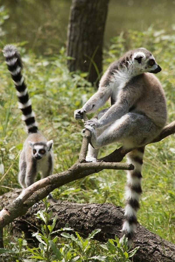 Lemurs Ring-tailed photo libre de droits