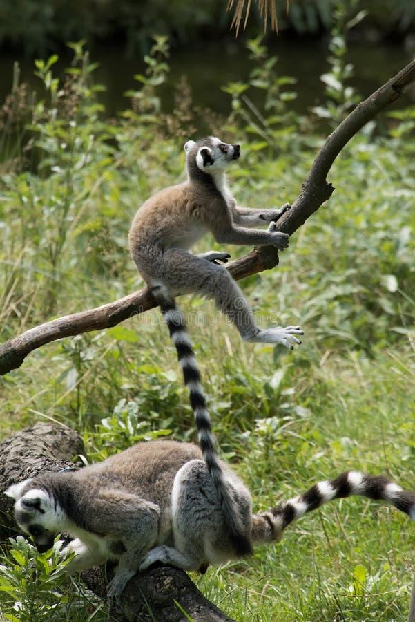 Lemurs Ring-tailed image libre de droits