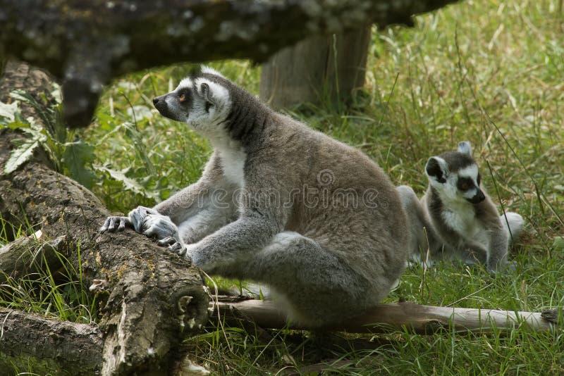 Lemurs Ring-tailed photos libres de droits
