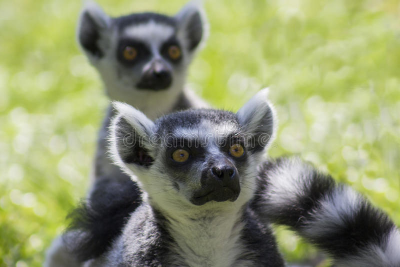 Lemurs Ring-tailed photographie stock