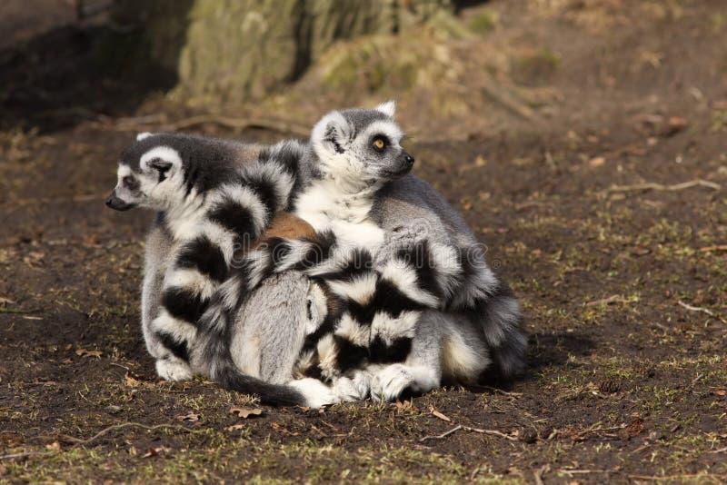 Lemurs Ring-tailed se reposant au sol photos libres de droits