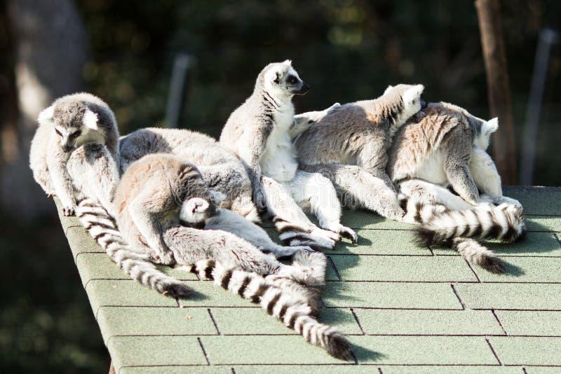 Lemurs stock photo