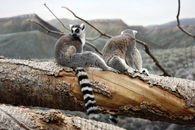 Lemurs sull'albero fotografia stock