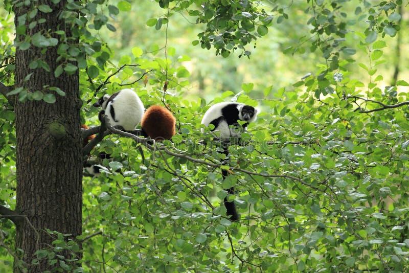 Lemurs on tree royalty free stock photo