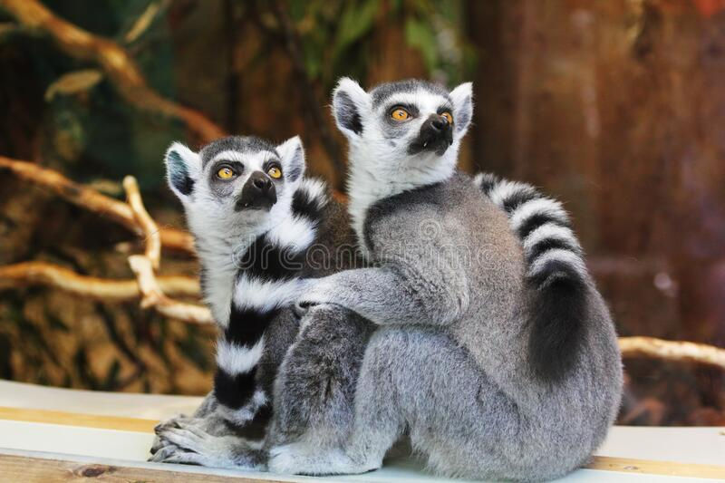 Lemurs on wooden planks royalty free stock photography