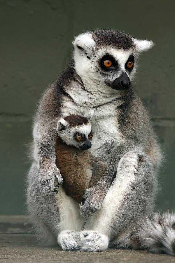lemury ringtailed zdjęcie royalty free
