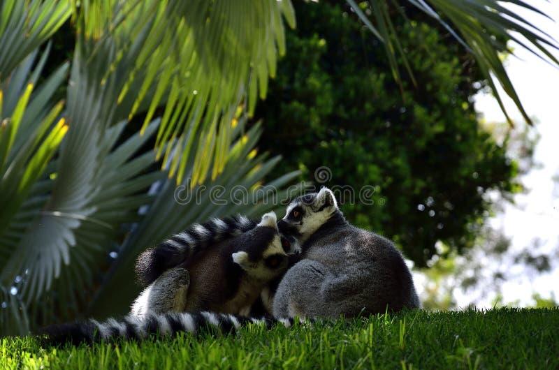 Lemury w Walencja życiorys parku, Hiszpania zdjęcie stock