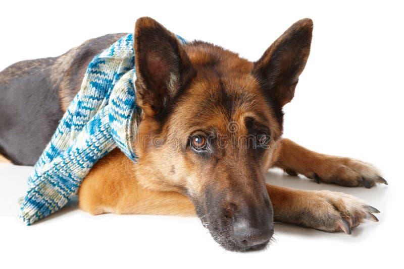 Lenço Desgastando Do Cão De Pastor Alemão Imagem de Stock Royalty Free