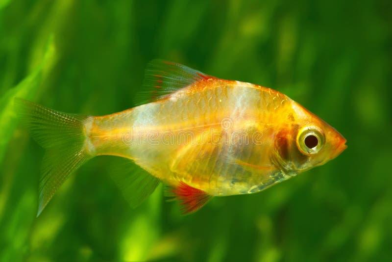 Lengüeta del tigre o glofish de la lengüeta de Sumatra fotografía de archivo libre de regalías