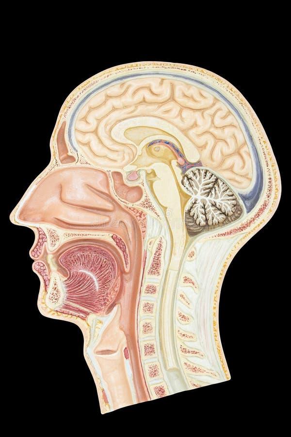 Length cross section human head model on black. Longitudinal section model human head isolated on black background stock photo