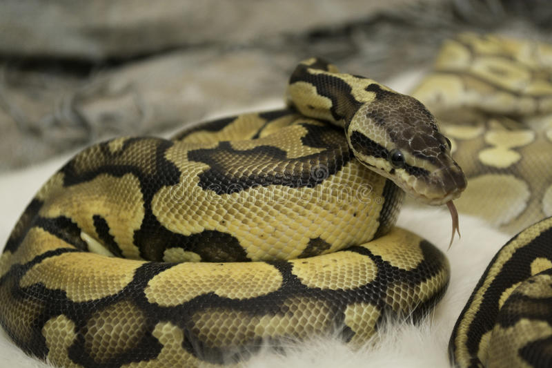 Lengua de Python de la bola del bebé hacia fuera foto de archivo