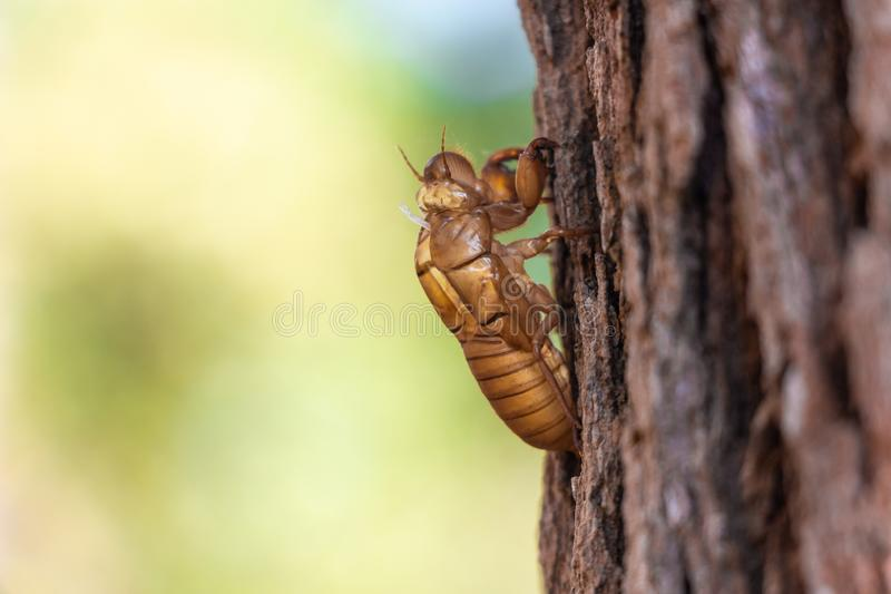 Lenieje cykada insekta molt na sośnie przy Thung salaeng Luang parkiem narodowym Phetchabun i Phitsanulok prowincja Północny obraz royalty free