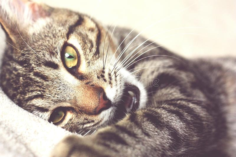 leniwy kot obraz stock