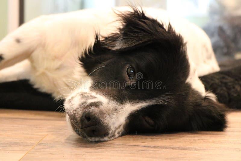 leniwy psa zdjęcia royalty free