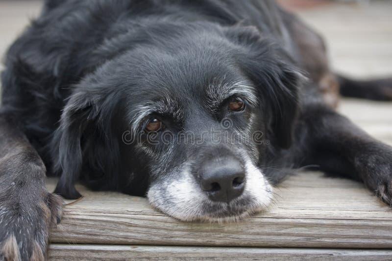 leniwy stary pies fotografia royalty free