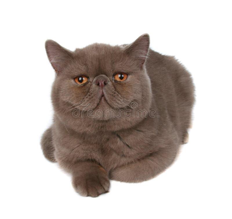 leniwy wielki kot zdjęcia stock