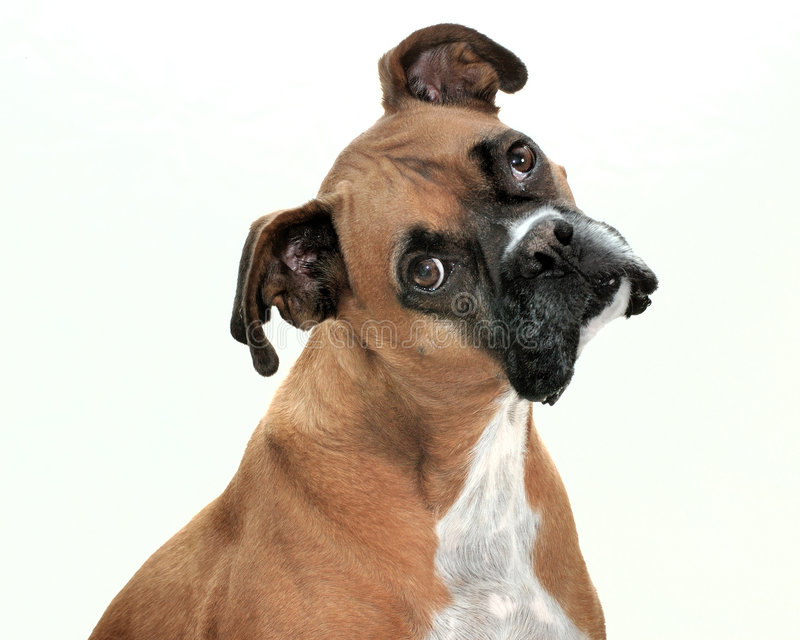 Download Lenny The Dog stock photo. Image of comical, mammal, boxer - 5587198
