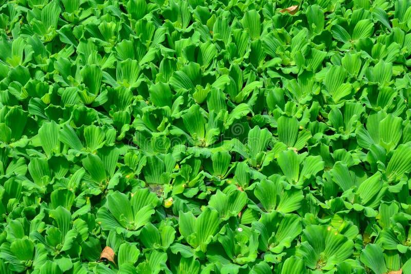 A lente da lentilha-d'água ou da água, está florescendo as plantas aquáticas que flutuam sobre imagem de stock