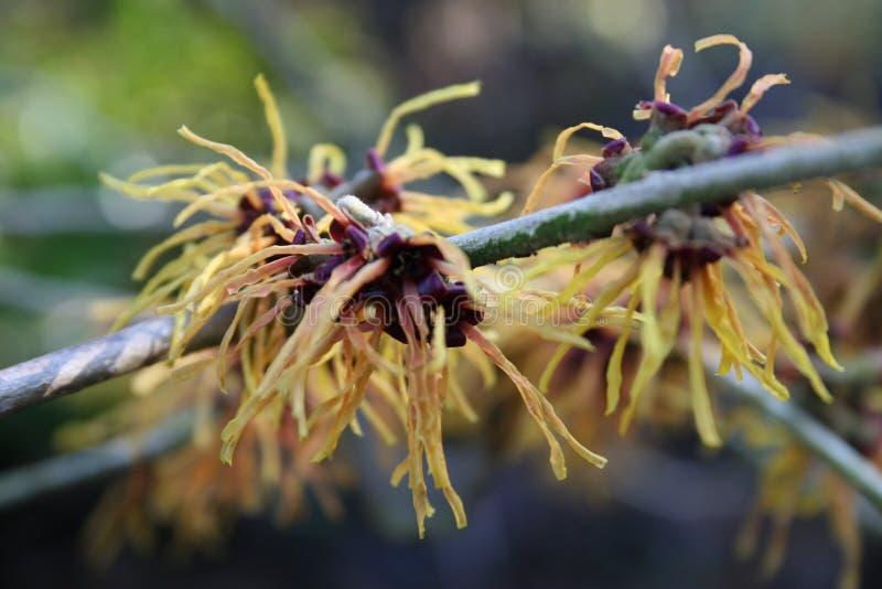 Lentebode: лещина toverhazelaar/hamamelis ведьмы цветя в bloei volle стоковое изображение rf