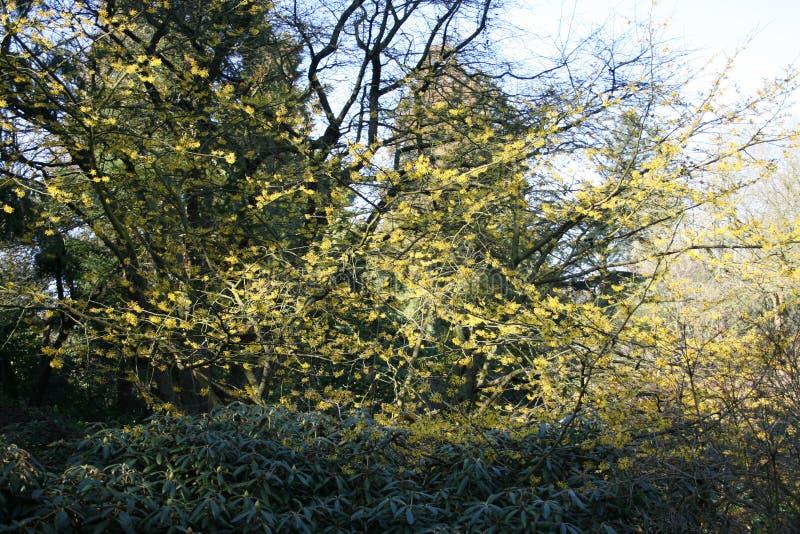 Lentebode: лещина toverhazelaar/hamamelis ведьмы цветя в bloei volle стоковая фотография rf