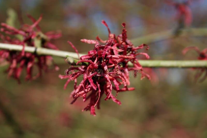 Lentebode: toverhazelaar/hamamelisamerikaanse toverhazelaar die in vollebloei bloeien stock foto's