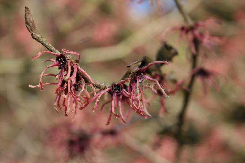 Lentebode: toverhazelaar/hamamelisamerikaanse toverhazelaar die in vollebloei bloeien stock afbeeldingen