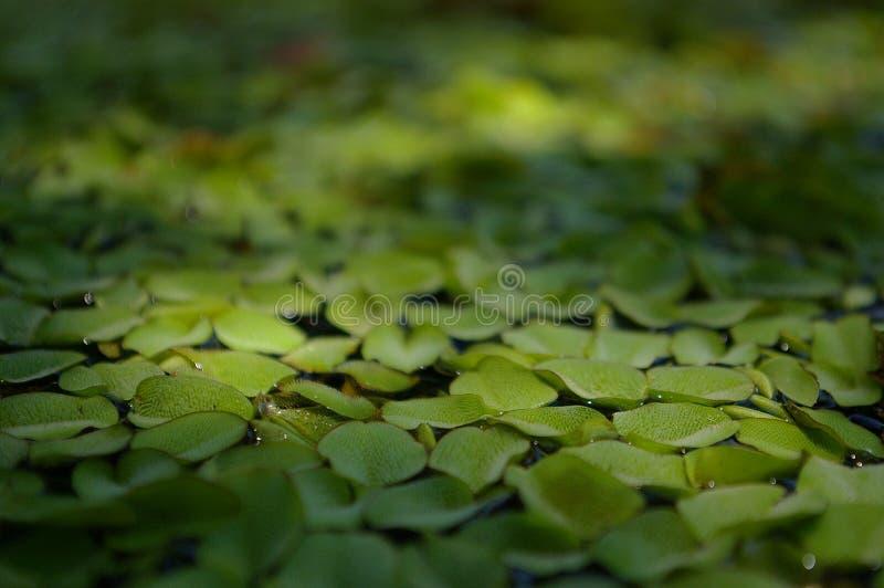 Lenteja de agua en el agua imagenes de archivo