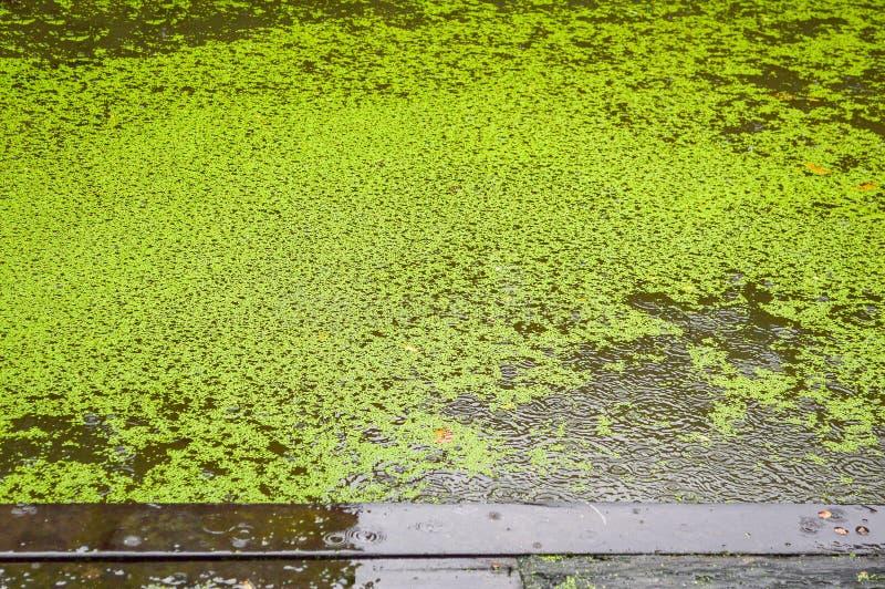 Lenteja de agua verde en el agua en día lluvioso fotos de archivo